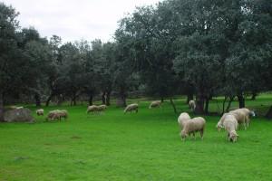 Ovejas en campo