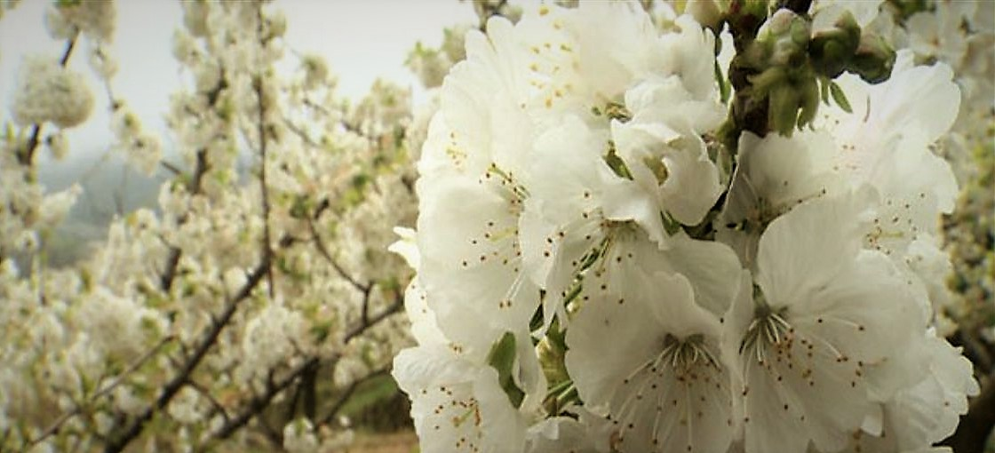 El 'Cerezo en Flor' con Torta del Casar, un placer para los sentidos